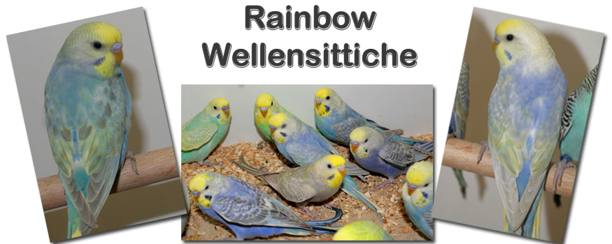 Collage Rainbow Wellensittiche
